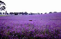 echiumfield - CSIRO image Paterson's curse