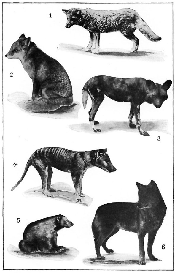 thylacine illustration